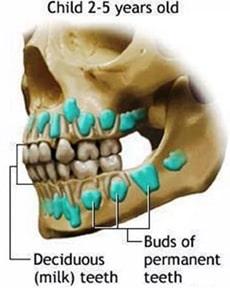 سیستم دندانی کودک ، رویش دندان های شیری و دائمی